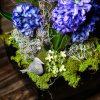 hyde park hyacinth 02
