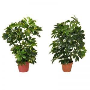Schefflera tree plant