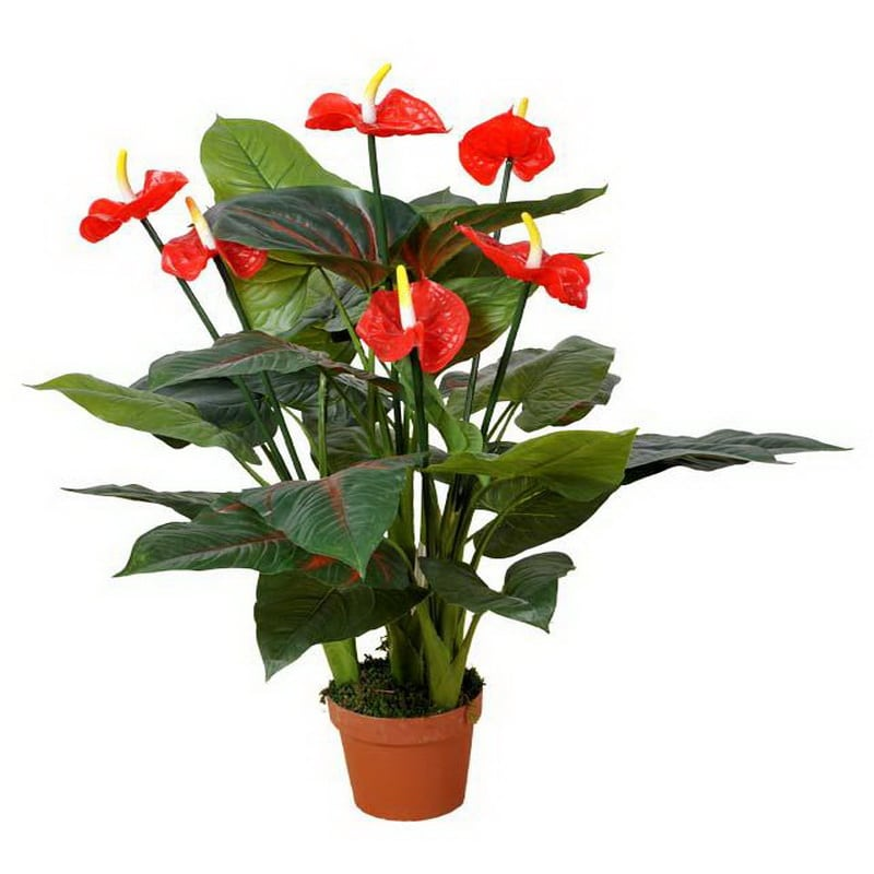 Red Anthurium in Pot
