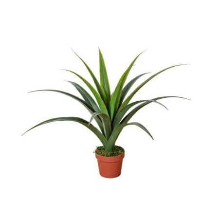 yucca green plant