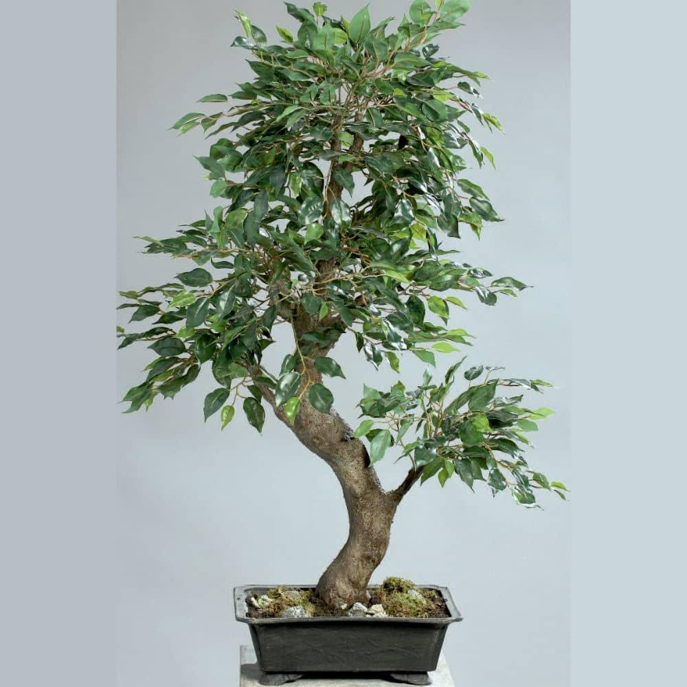 bonsai ficus 90 cm