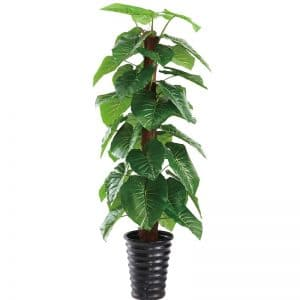 Alocasia Tree 165 cm
