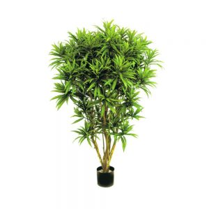 Dracaena Reflexa Jamaica 150 cm