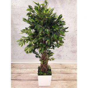 Ficus Liana Exotica