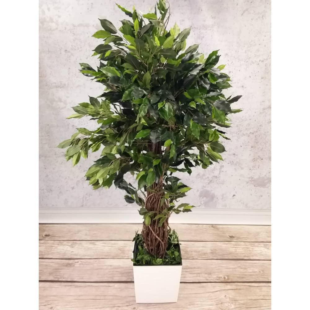 ficus liana exotica tree