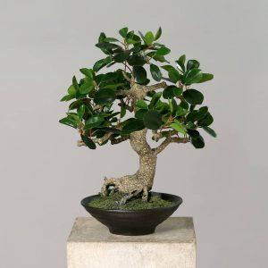 Ficus Bonsai 50 cm