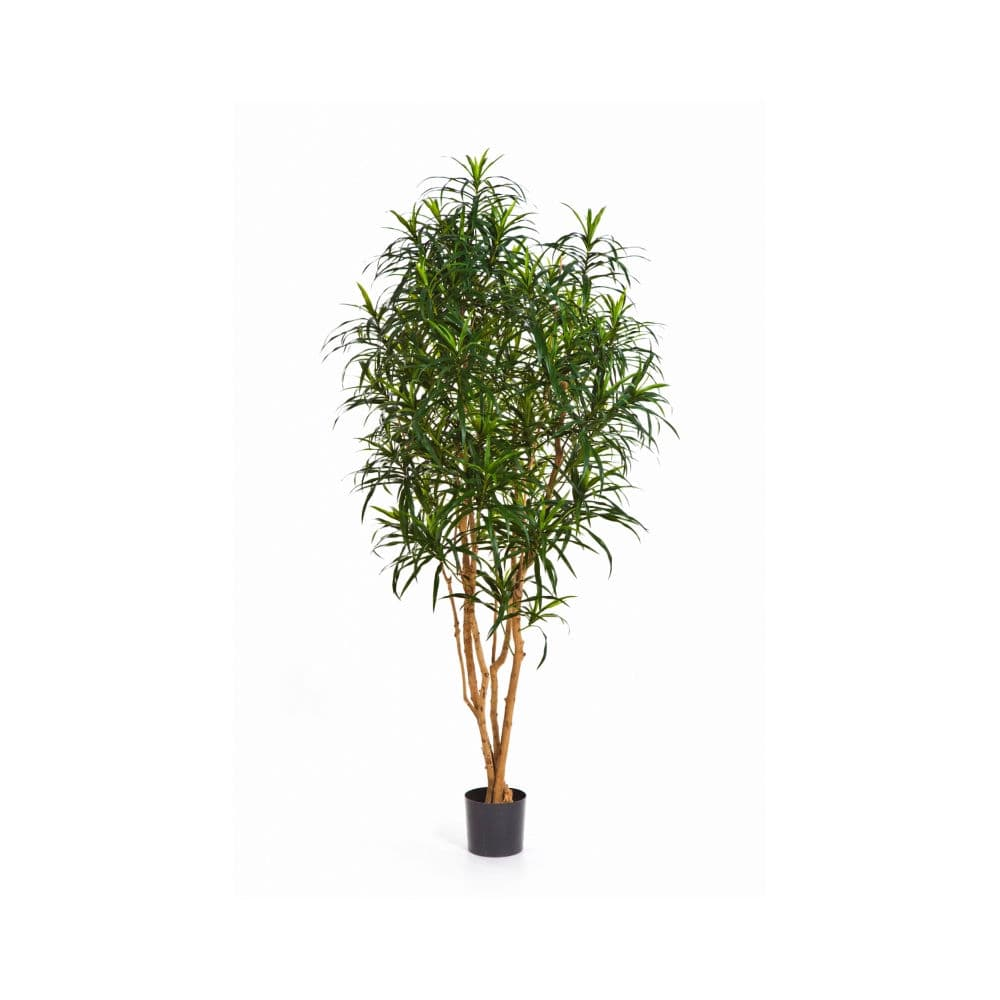 dracena tree-anita
