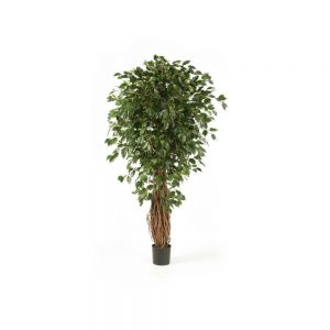 Amazing Braided Trunk Ficus