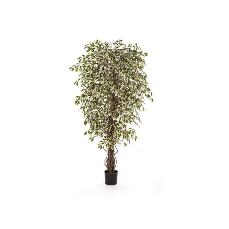 White-Green Braided Trunk Ficus