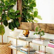Ficus indoor tree Plants with Big Leaves Ficus