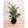 Medium Areca Palm Tree 110 cm