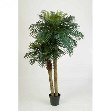 Double Palm Phoenix Canariensis