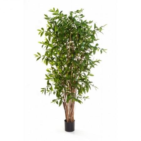 Dracaena Surculosa Tree