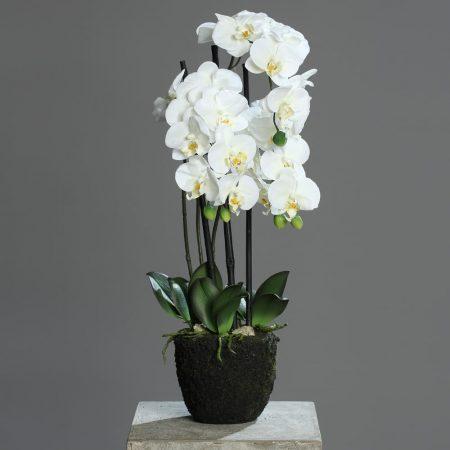 Orchid Phalaenopsis 55cm in soil block
