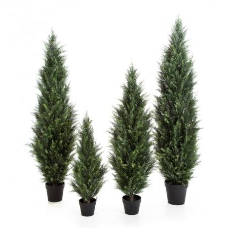conifer cedar green